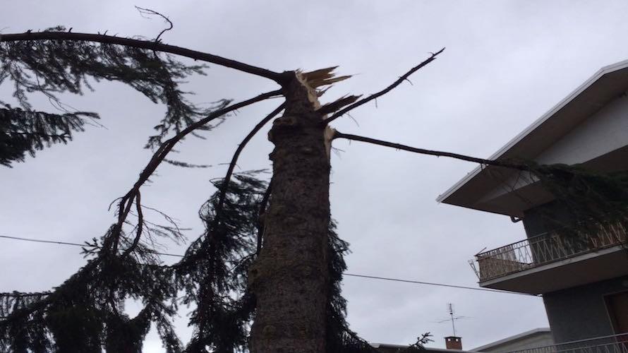 Dal rotary 100 alberi per sostituire quelli abbattuti sui - Alberi adatti per viali ...